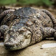 تمساح گاندو